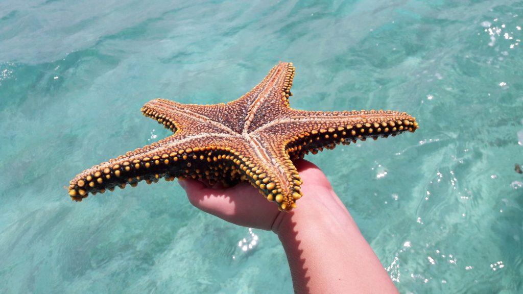 Wanneer je gaat snorkelen op Zanzibar, vind je grote zeesterren in verschillende kleuren.