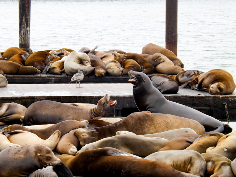 Zeeleeuwen bij Pier 39