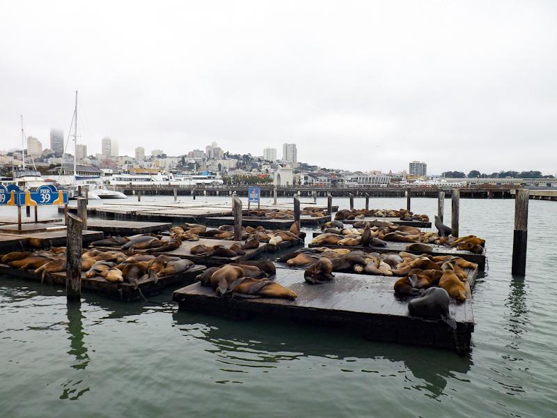 Zeeleeuwen op de pontons in San Francisco, Pier 39